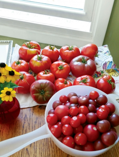 backyard tomatoes
