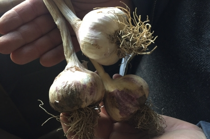 A cluster of organic garlic at Ribbon Road Farm