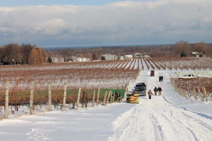 Winter vineyards at Johnson Estate Winery in Westfield, NY