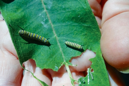 Monarch butterfly larva on milkweed plant
