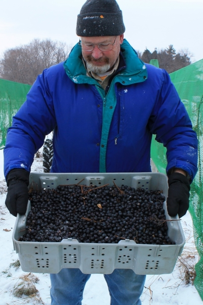 Fred Johnson, owner of Johnson Estate Winery, with recently harvested ice wine grapes