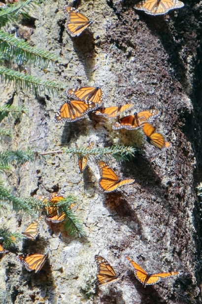 Migrating monarch butterflies resting on tree