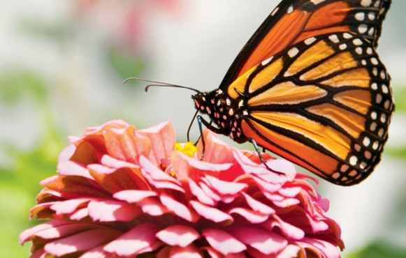 Monarch butterfly drawing nectar from flower
