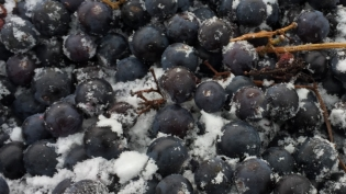Chambourcin ice wine grapes at Johnson Estate Winery in Westfield, NY