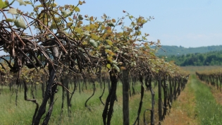 Vineyards in spring in the Lake Erie Grape region